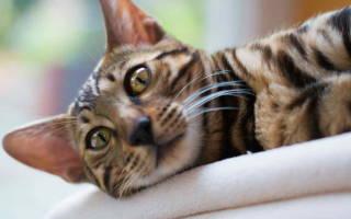 Сердечная недостаточность у кошки лечение