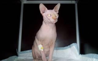 Сердечная недостаточность симптомы у кошки